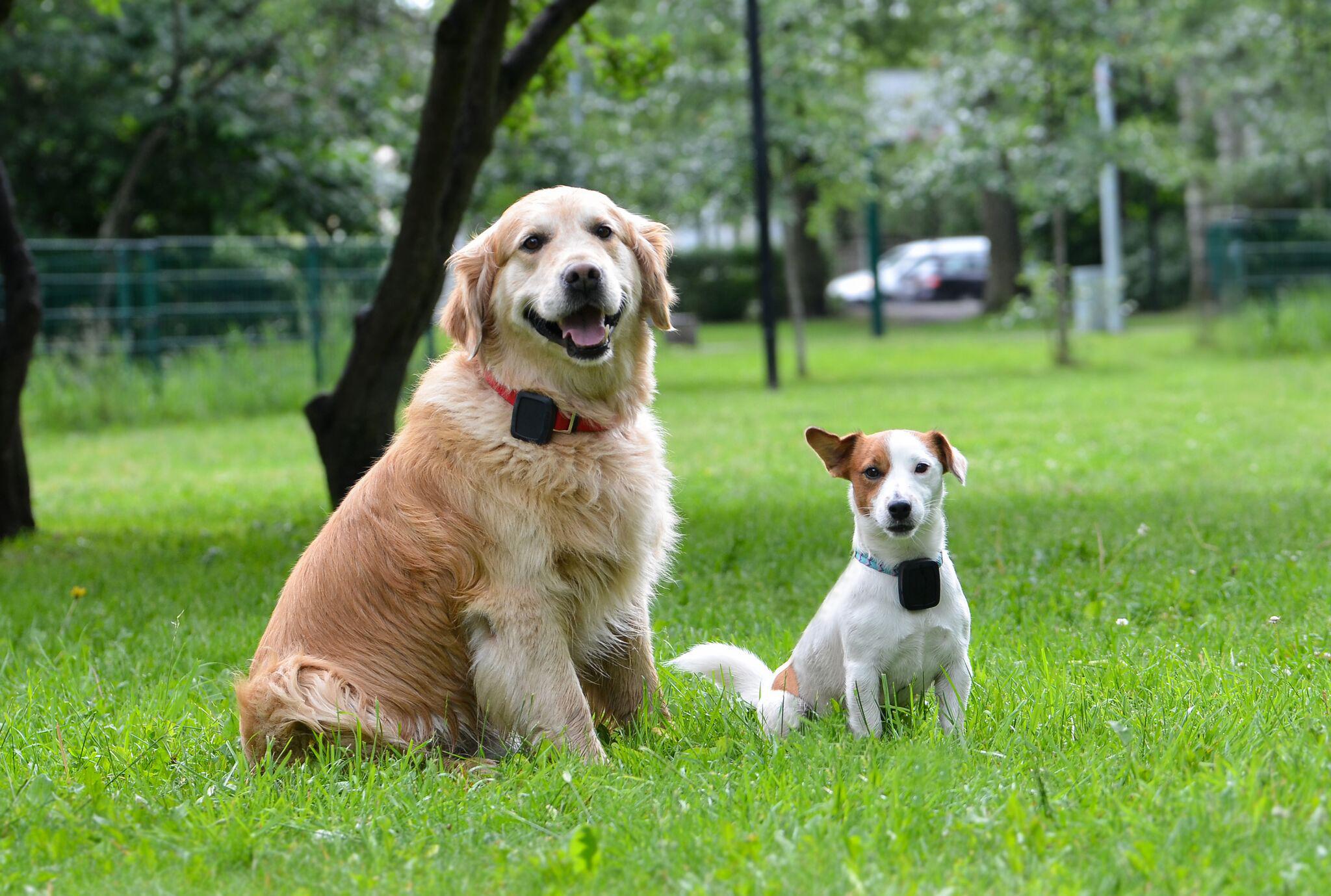 96a122779f4 Pildil: Koerad Jack ja Toto kandmas jälgimisseadet, mis aitab tuvastada  lemmiklooma asukoha.